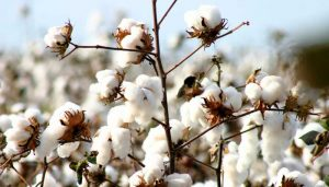 cotton for paper pulping
