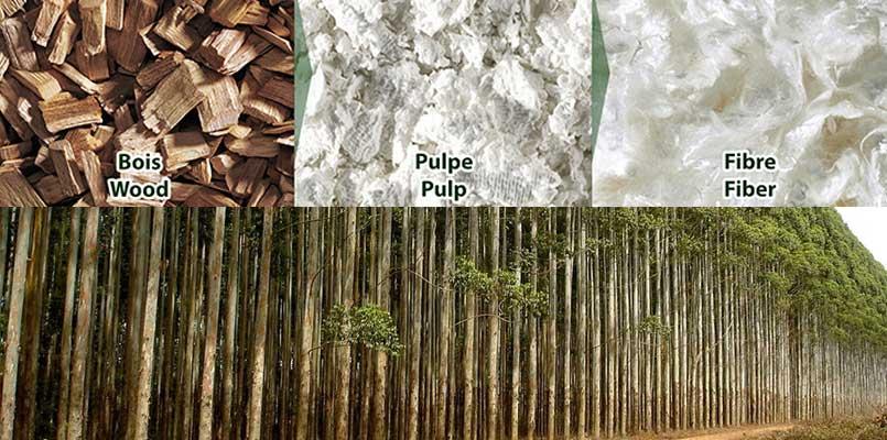 eucalyptus pulp