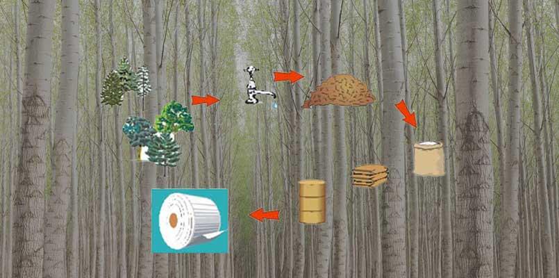 poplar pulp making